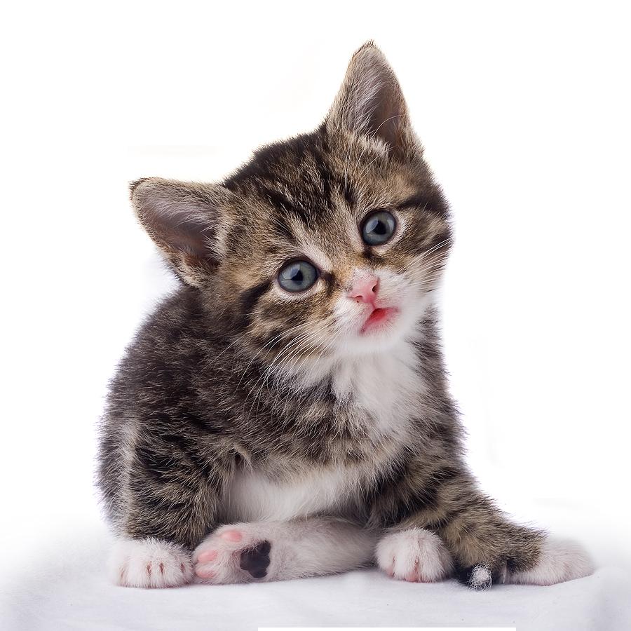 KITTENS clipart transparent background Transparent PNG Kitten Transparent Free