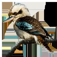 Kookaburra clipart 01 by Wikia FANDOM Kookaburra