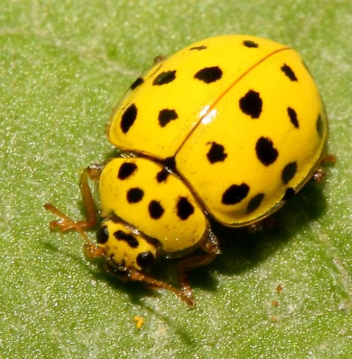 Lady Beetle clipart beatle Insects Pinterest images Spot on