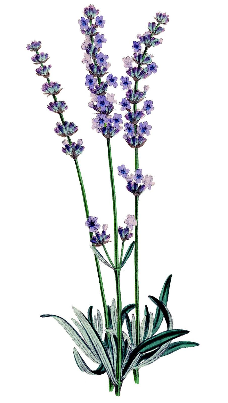 Lavender clipart #5
