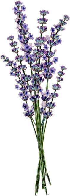Lavender clipart #12