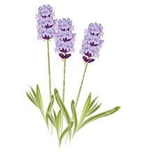 Lavender clipart #6