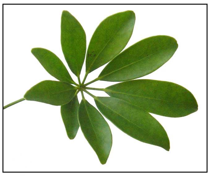 Plant Lagundi