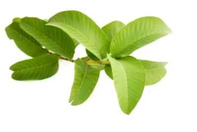 Plants Guava Wash Much Skin