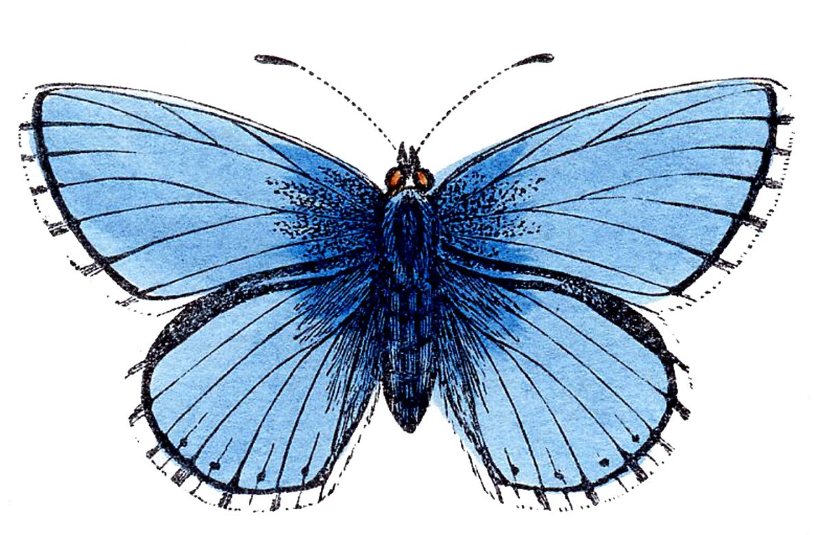 Moth clipart antique History collection clipart Natural Butterfly