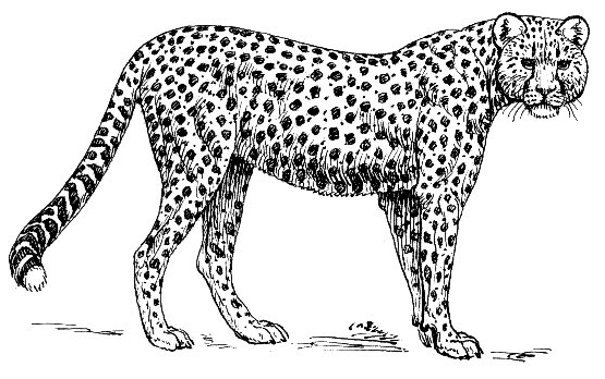 Ocelot clipart black and white Animal Wild Download Jaquar Clipart