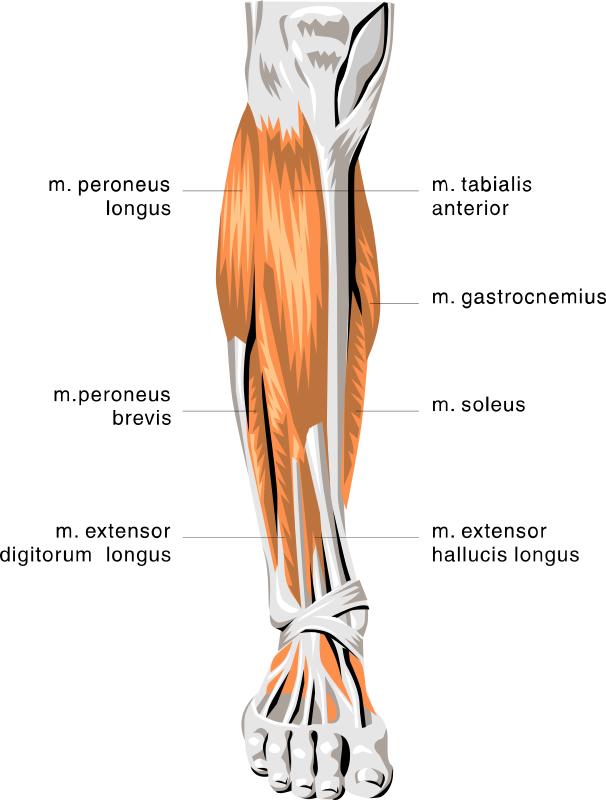 Legs clipart limb Muscles Leg Anatomy Lower Art