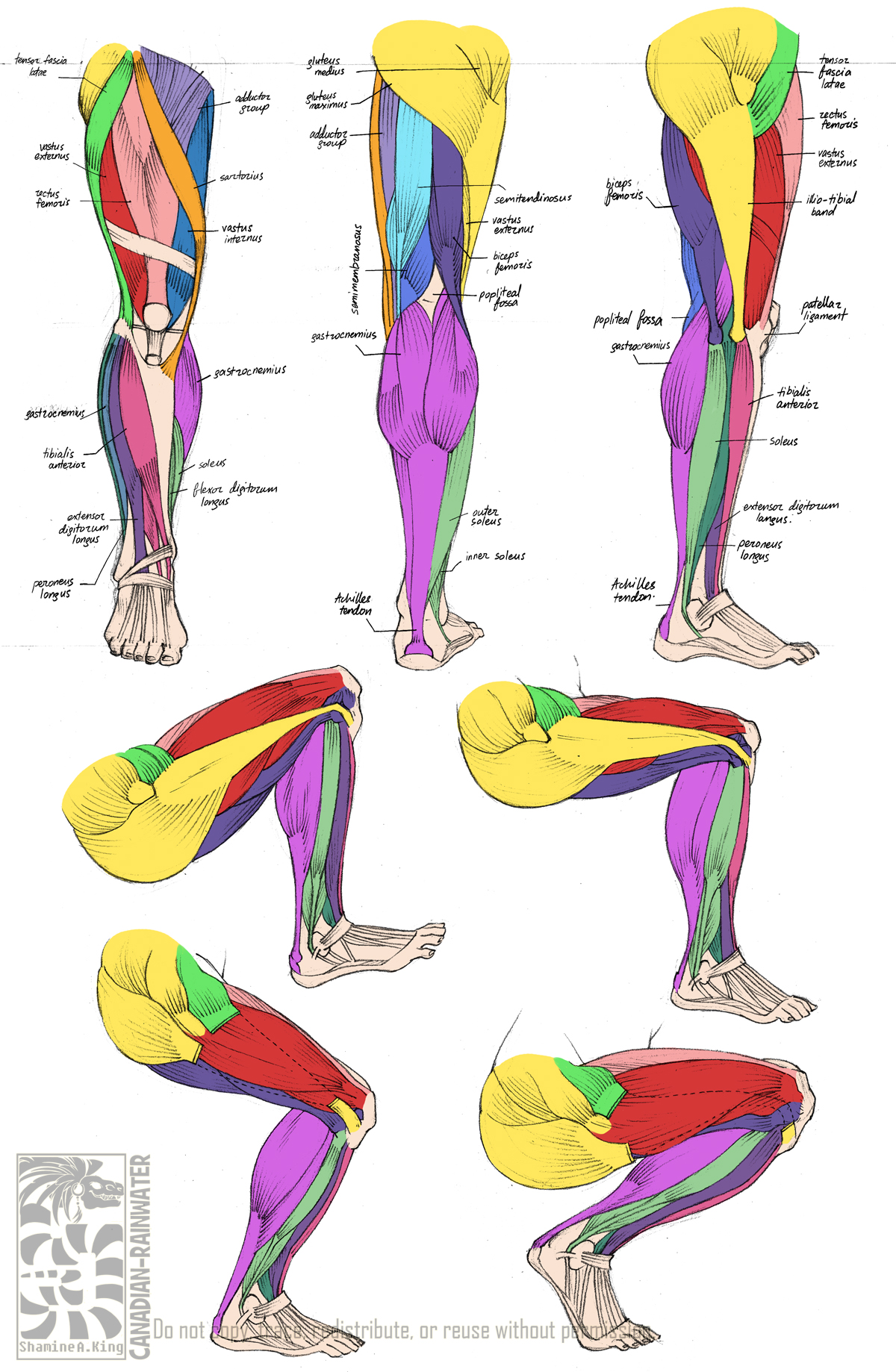 Legs clipart muscular Sketchbook/Life works with AnatomyLeg Animations: