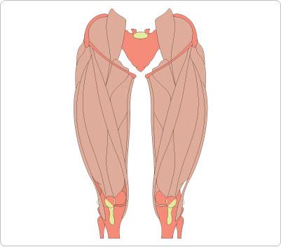 Legs clipart muscular Leg Muscle  Clipart