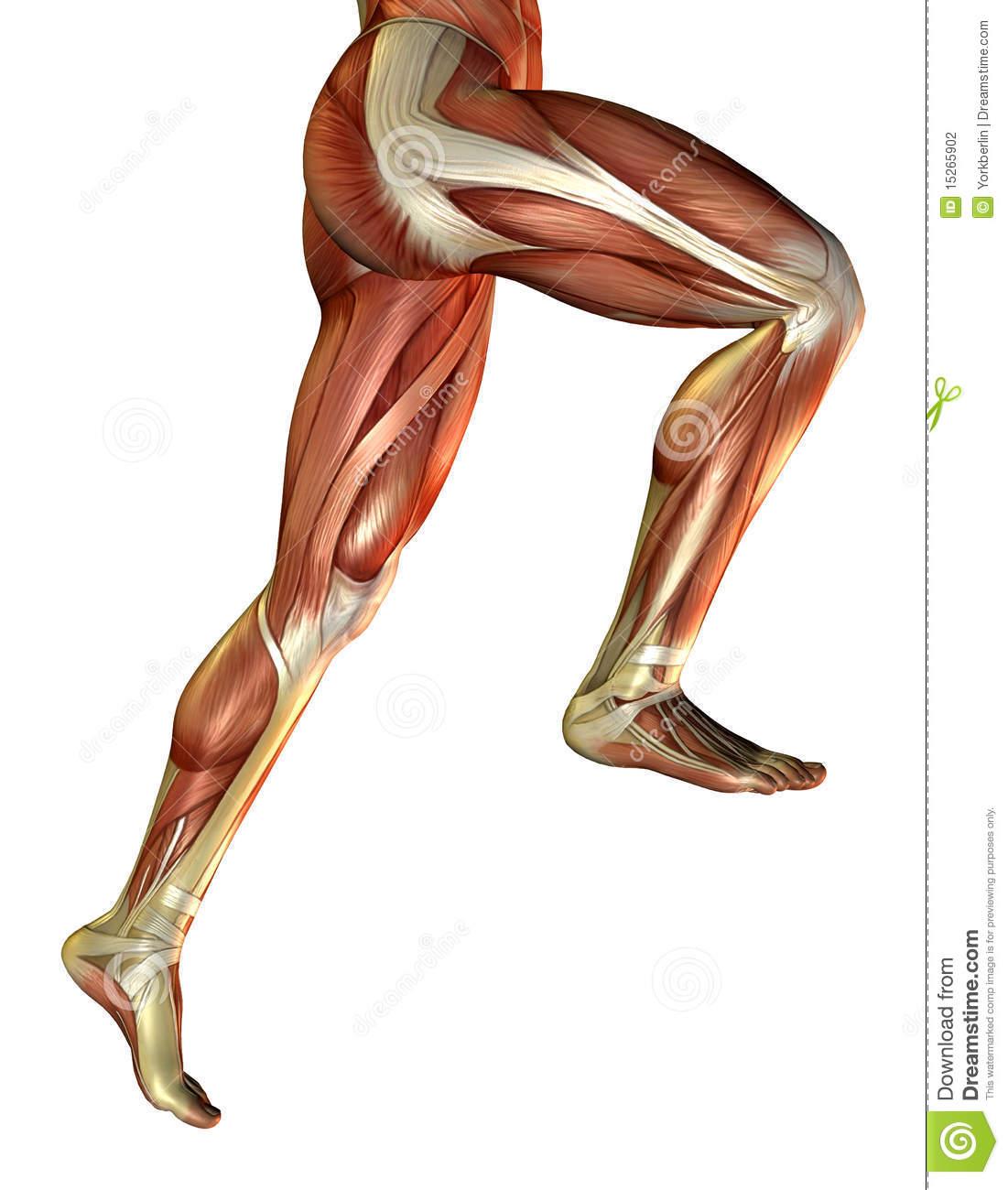 Legs clipart muscular Clipart Muscle Clipart Leg Muscle