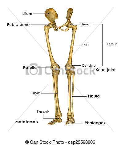 Legs clipart one Of Skeleton csp23598806 The hip