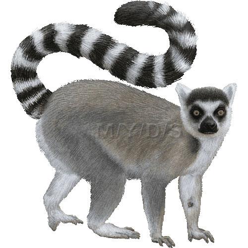 Lemur clipart #25 lemur Clipart art Lemur
