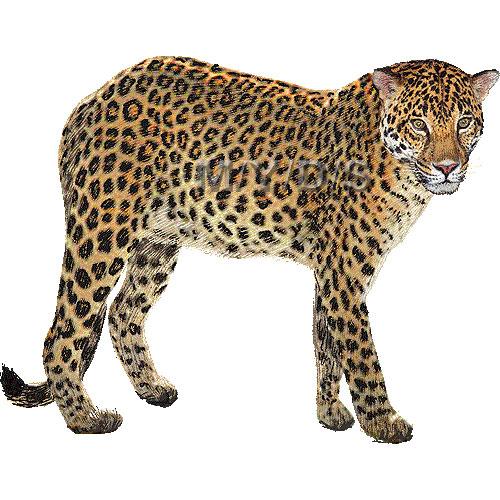 Leopard clipart Clipart clipart Leopard graphics art