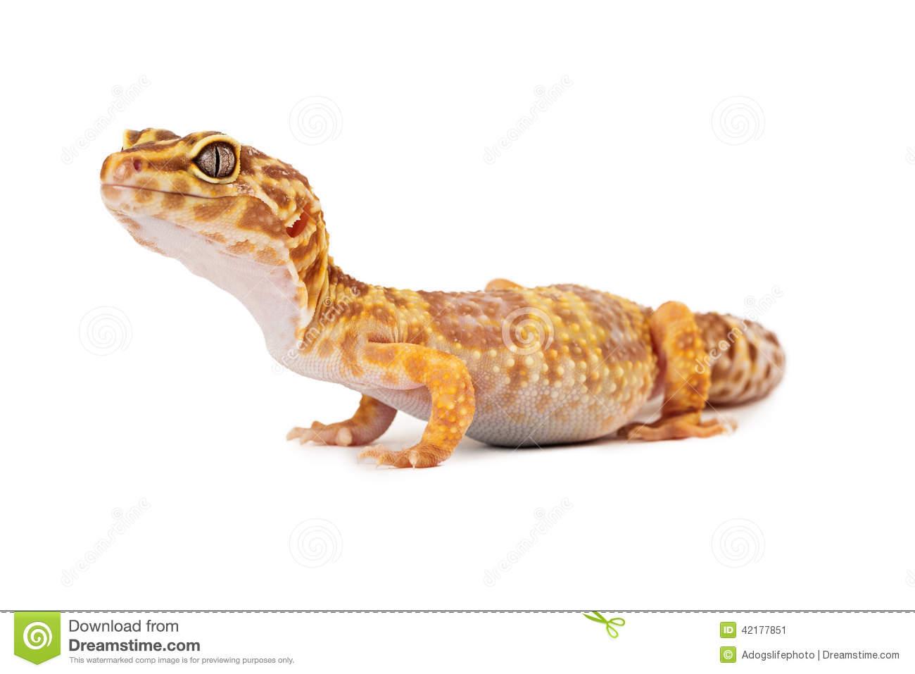 Leopard Gecko clipart Clip Gecko Art Leopard Clip