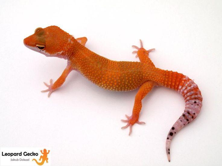 Leopard Lizard clipart baby fancy Best about Leopard gecko? images
