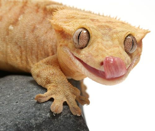 Leopard Lizard clipart crested Gecko and Gecko Crested Worth