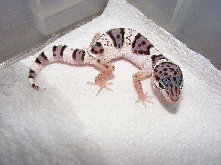 Leopard Lizard clipart baby fancy Geckos on Geckos favourite type