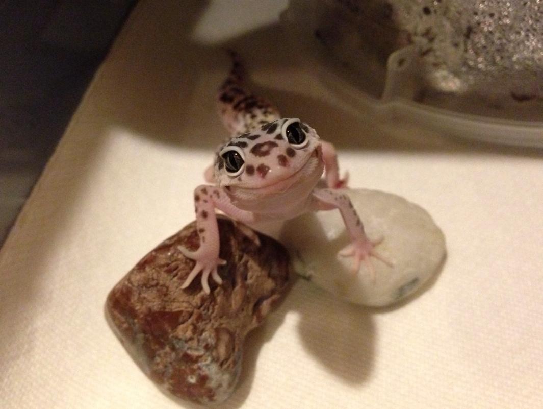 Leopard Lizard clipart cute baby Pinterest images geckos Gecko best