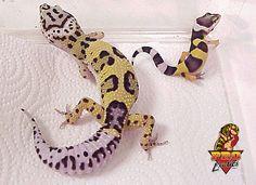 Leopard Lizard clipart cute baby Leopard gecko Spotted Gecko myself