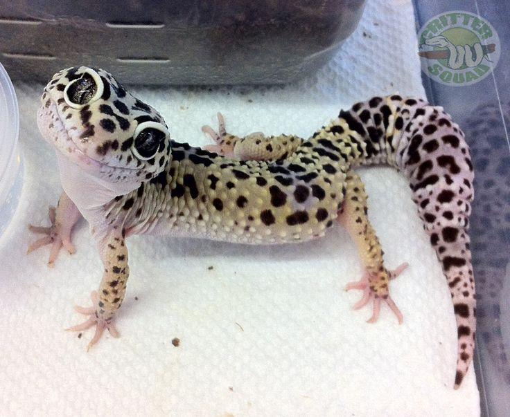 Leopard Lizard clipart cute baby Best geckos geckos 25+ Pinterest