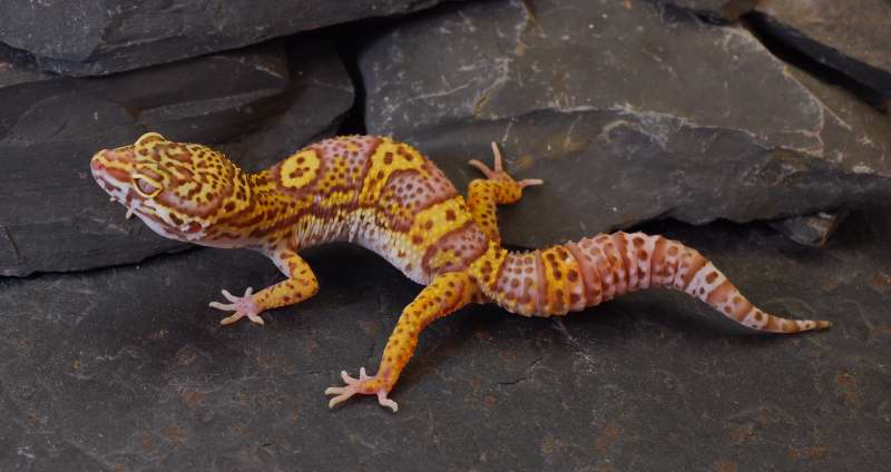 Leopard Lizard clipart baby fancy Reptiles Geckos Reptiles Leopard Pinterest