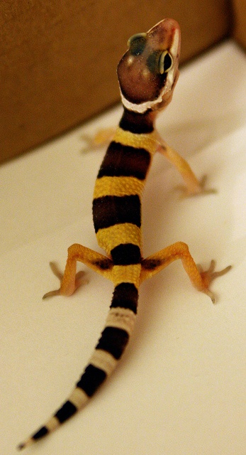 Leopard Lizard clipart baby fancy Pinterest 8D wait! 234 Gecko