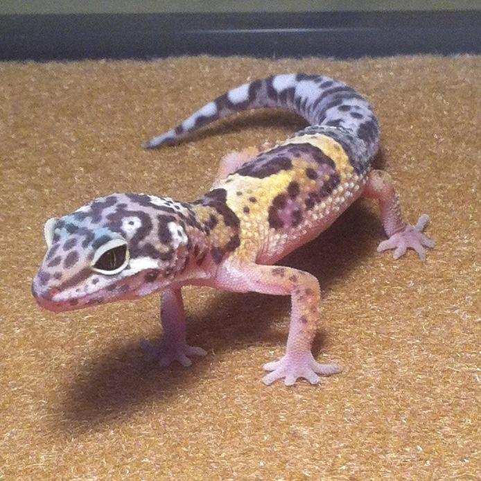 Leopard Lizard clipart baby fancy About gecko looks like my