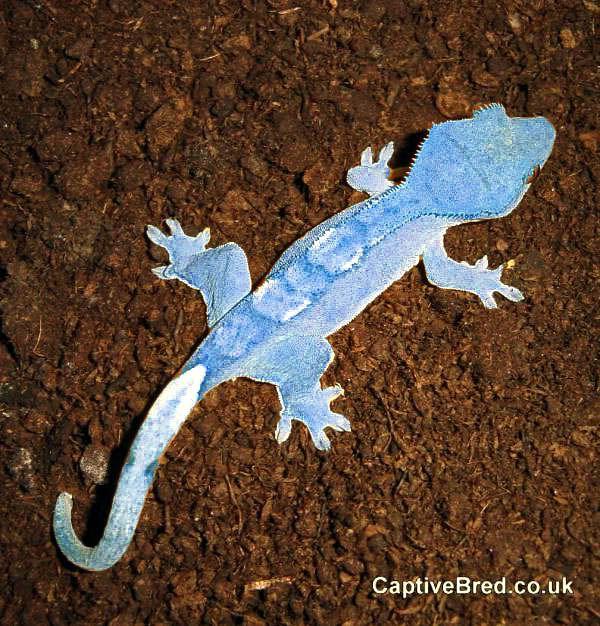 Leopard Lizard clipart crested 114 has photo shopped Gecko