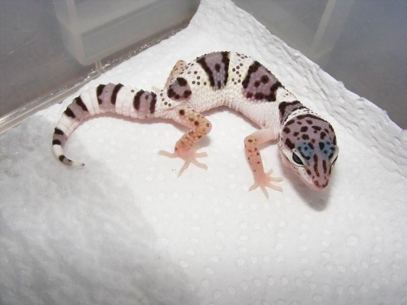 Leopard Lizard clipart cute baby 135 :) Geckos best favourite