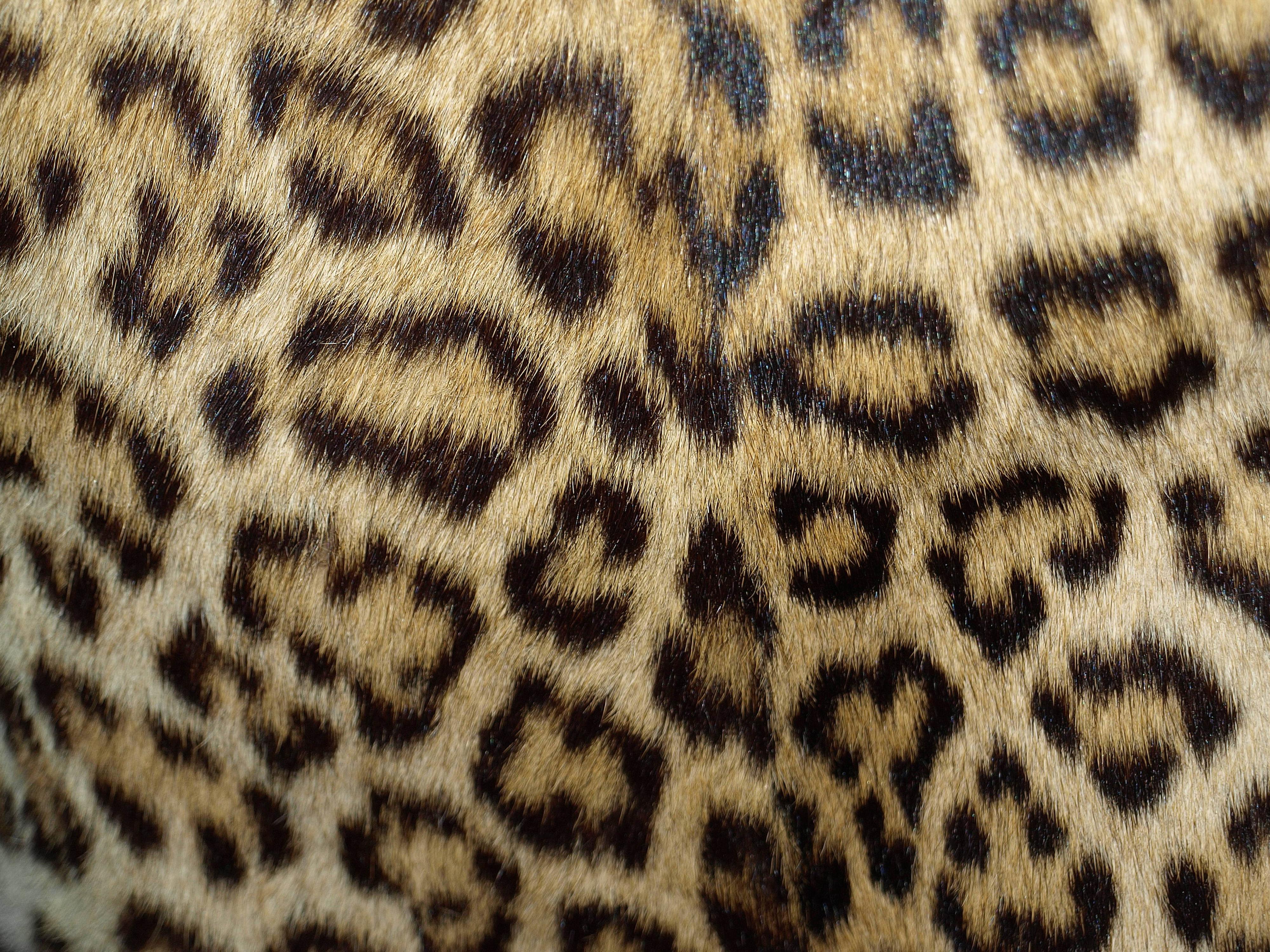 Leopard Skin clipart background Skin full size Yopriceville Leopard