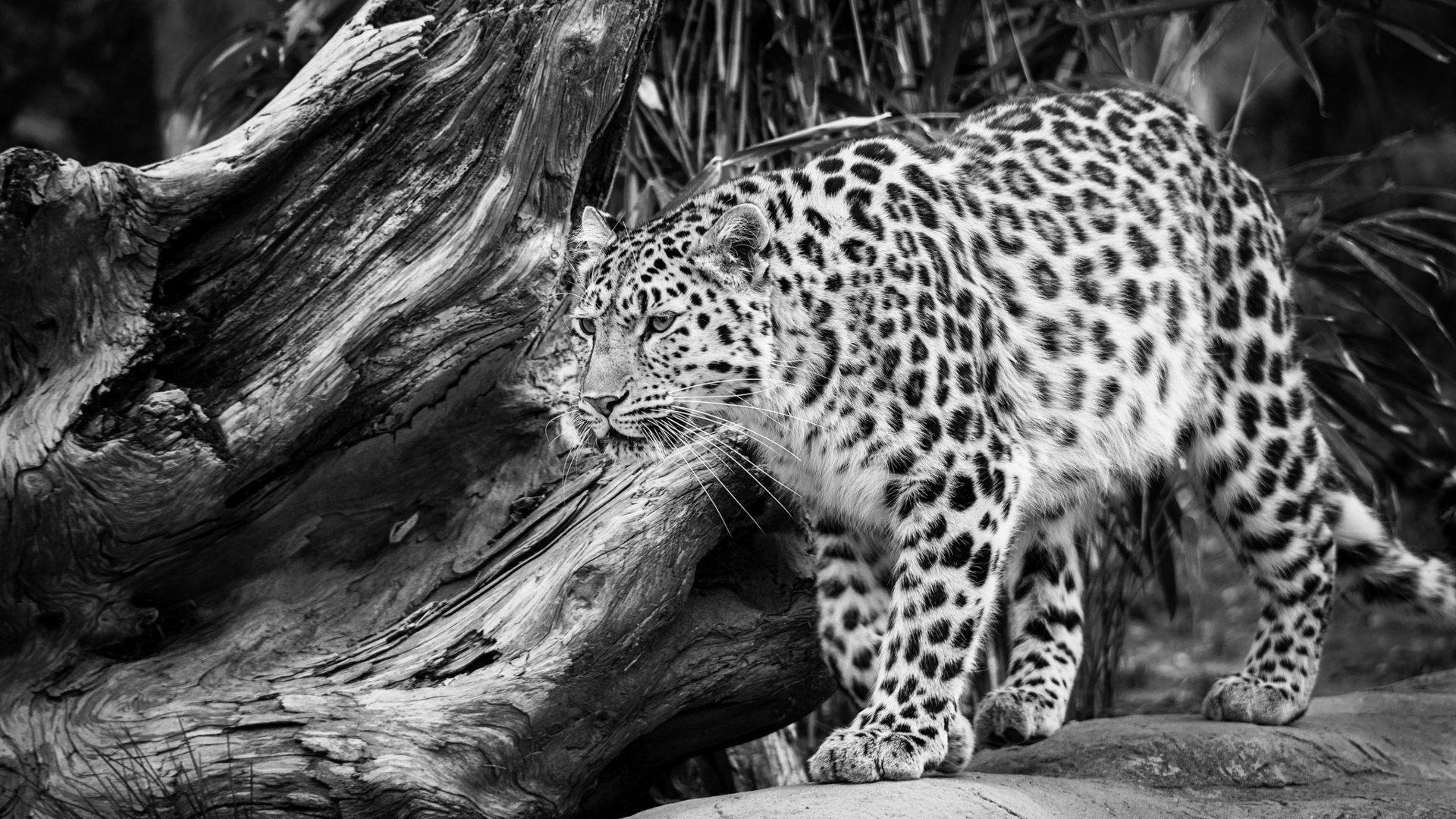 Leopard Skin clipart lepard #5