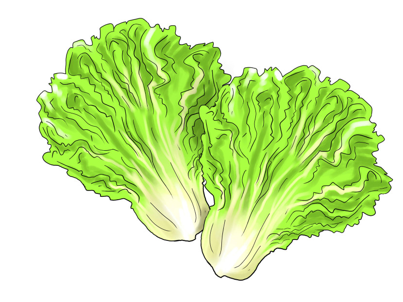 Cabbage clipart green salad Lettuce Free Pictures 2 clipart