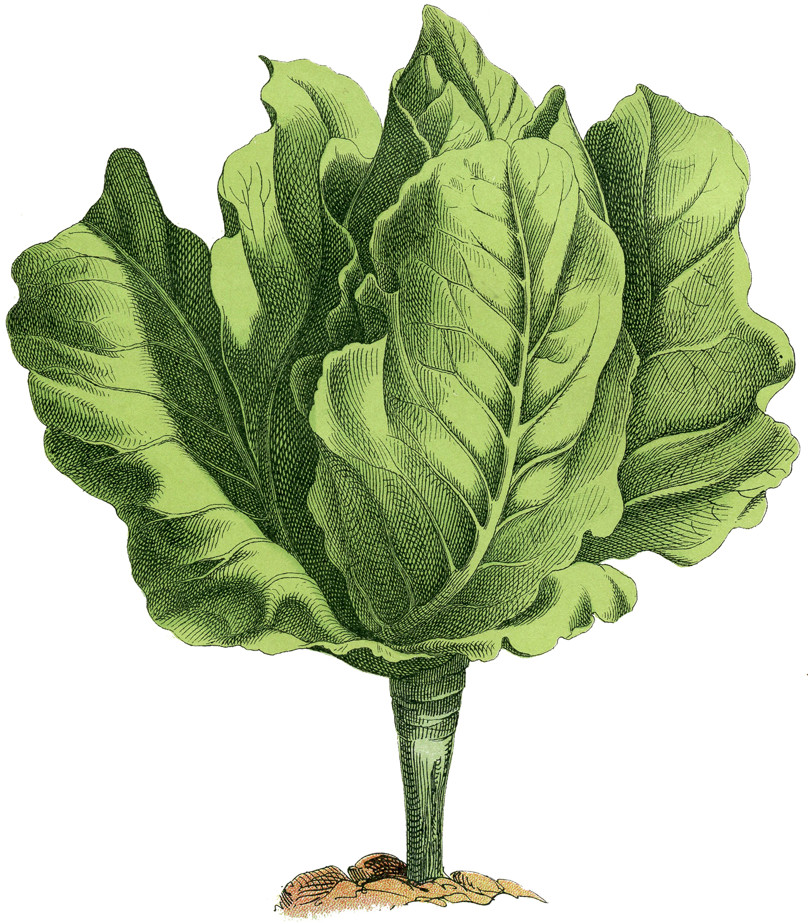 Lettuce clipart vector Clipart photo clip Lettuce library
