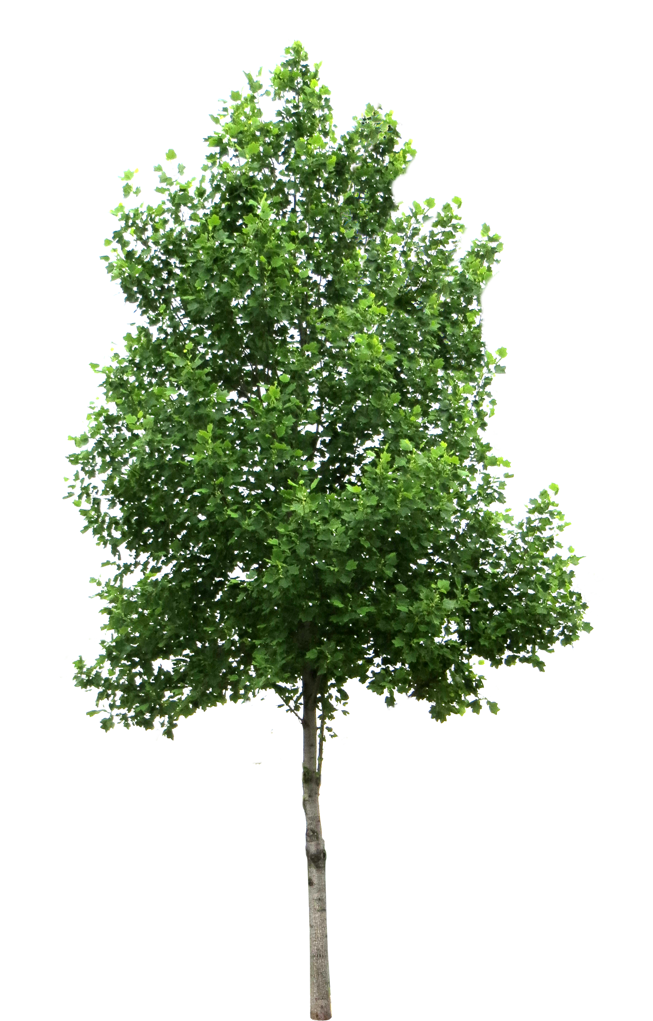 Birch clipart transparent Library Trees luGher Free Pinterest
