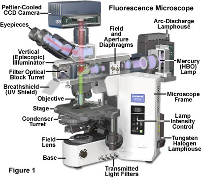 Resource Fluorescence Microscope Fluorescence Olympus