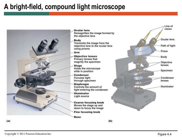 19  specimen); Microscopy through
