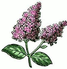 Lilac clipart Lilac Lilac Free Clipart flowers