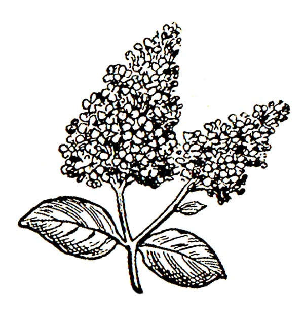 Lilac clipart Clip Lilac Free Art Flowers
