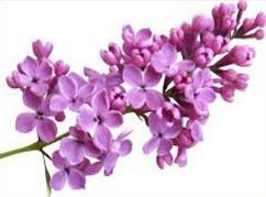 Lilac clipart #11