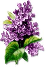 Lilac clipart #1