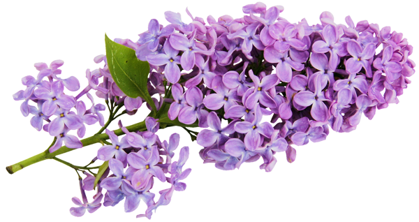 Lilac clipart #9