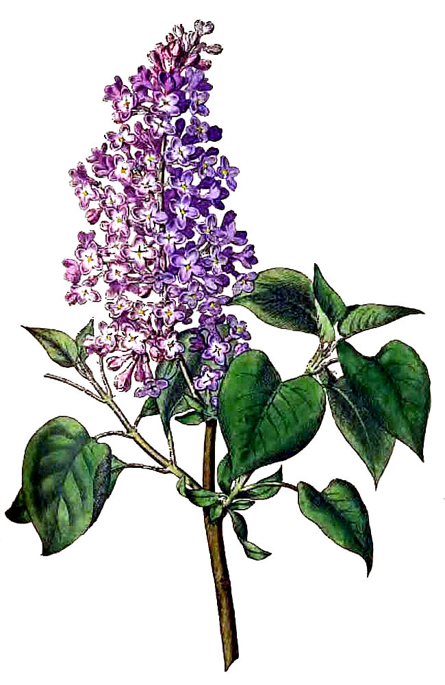 Lilac clipart #15