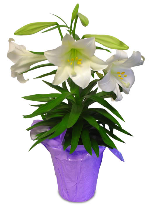 Beautiful clipart easter lily – Easter schliferaward Happy Lily