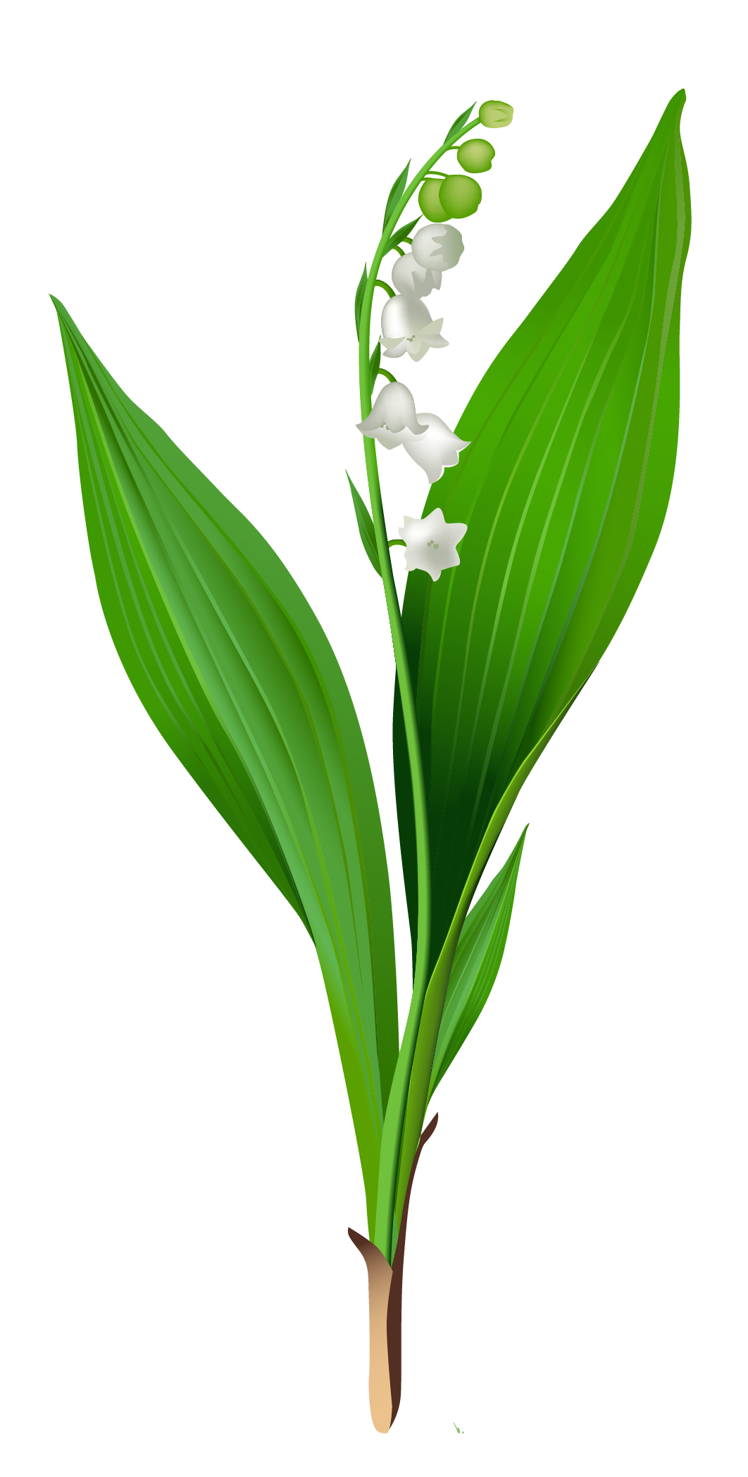 Lily Of The Valley clipart Full Clipart Lily of size