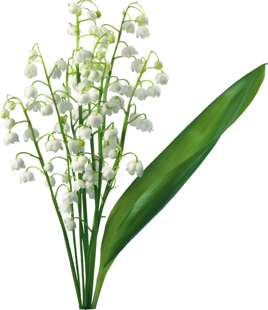 Lily Of The Valley clipart Of Valley Clip Art the