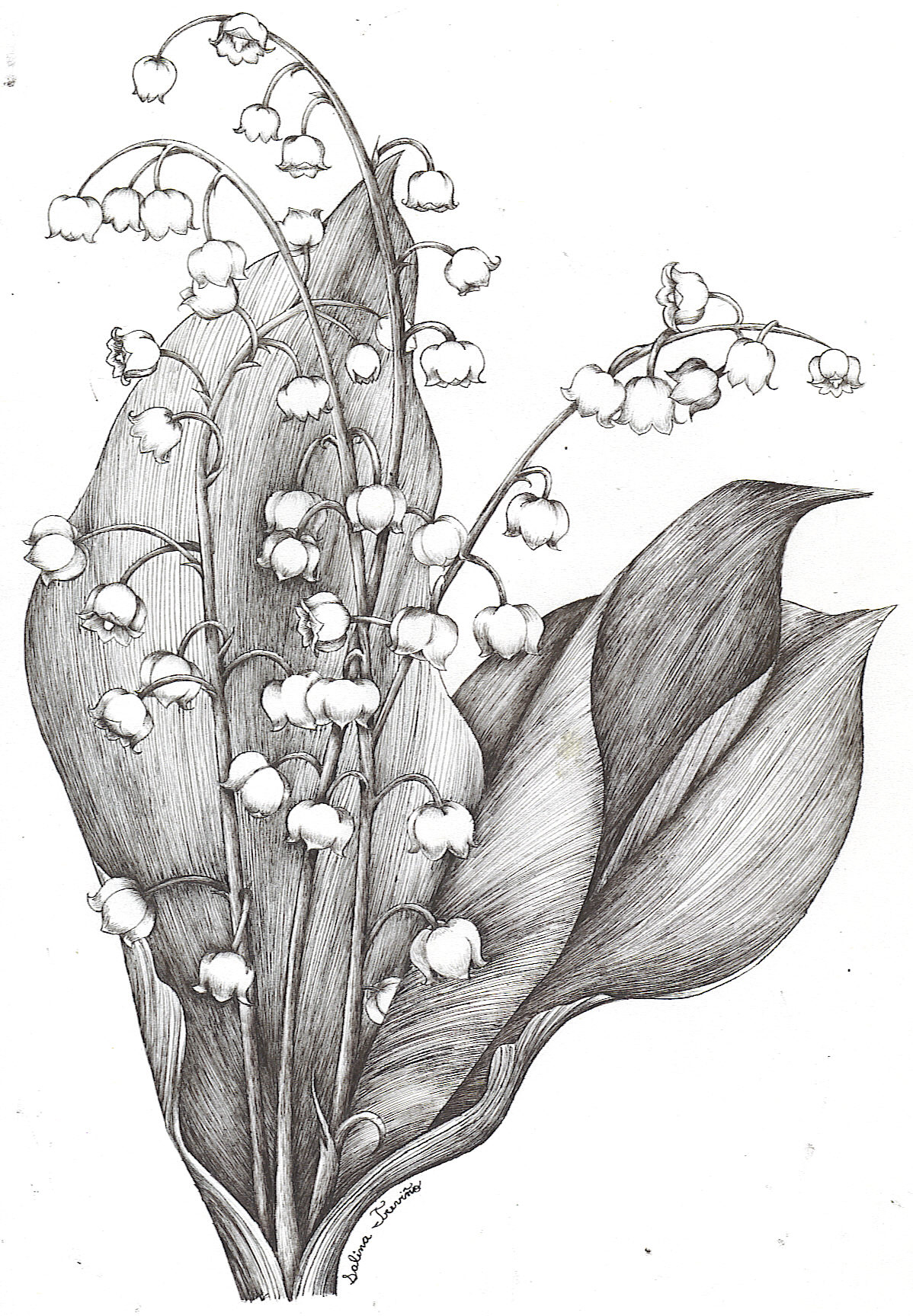 Lily Of The Valley clipart black and white The Moonie Moonie the Valley