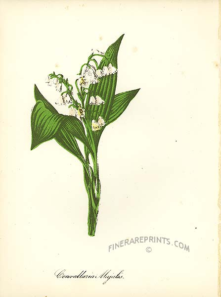 Lily Of The Valley clipart convallaria majalis American print of Genuine of