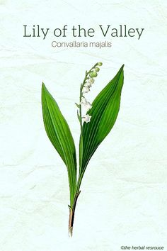 Lily Of The Valley clipart convallaria majalis Of  (Convallaria majalis) Valley