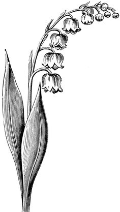 Lily Of The Valley clipart foot Drawing the lily the