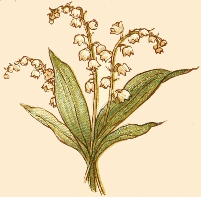 Lily Of The Valley clipart meaning Sweetness; lily to happiness; Return